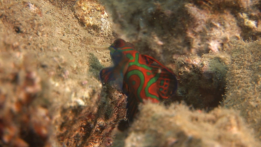 Mandarin fish on coral. Pacific - 981-383