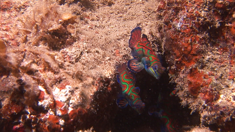 Mandarin fish on coral. Pacific - 981-387