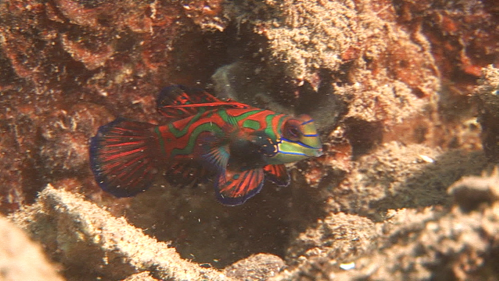 Mandarin fish on coral. Pacific - 981-388
