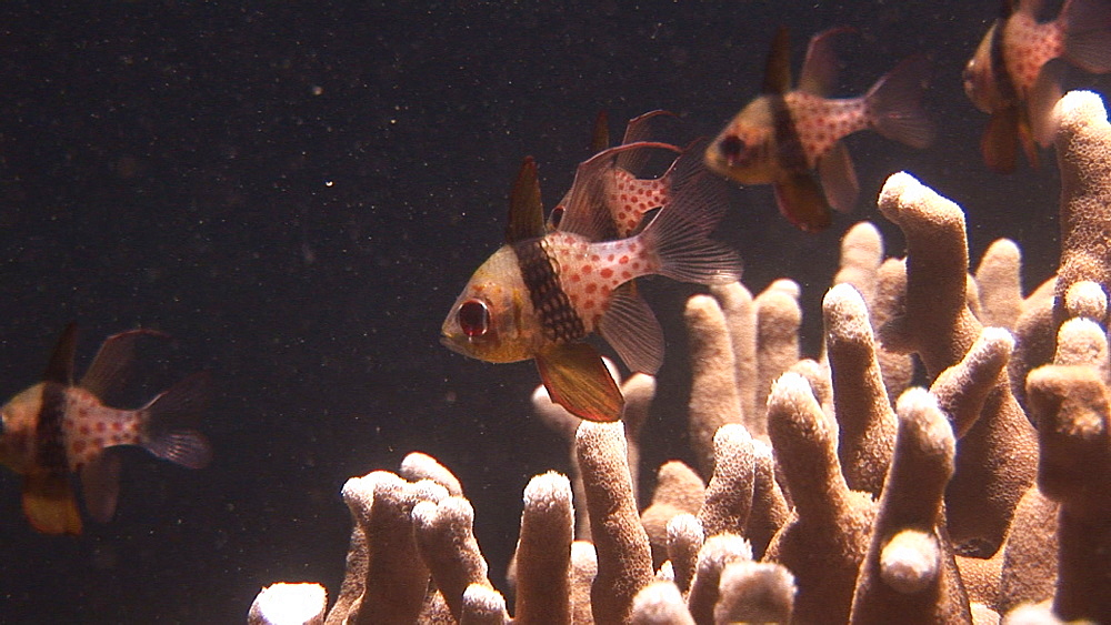 Close up of Pajama cardinalfish. Pacific - 981-390