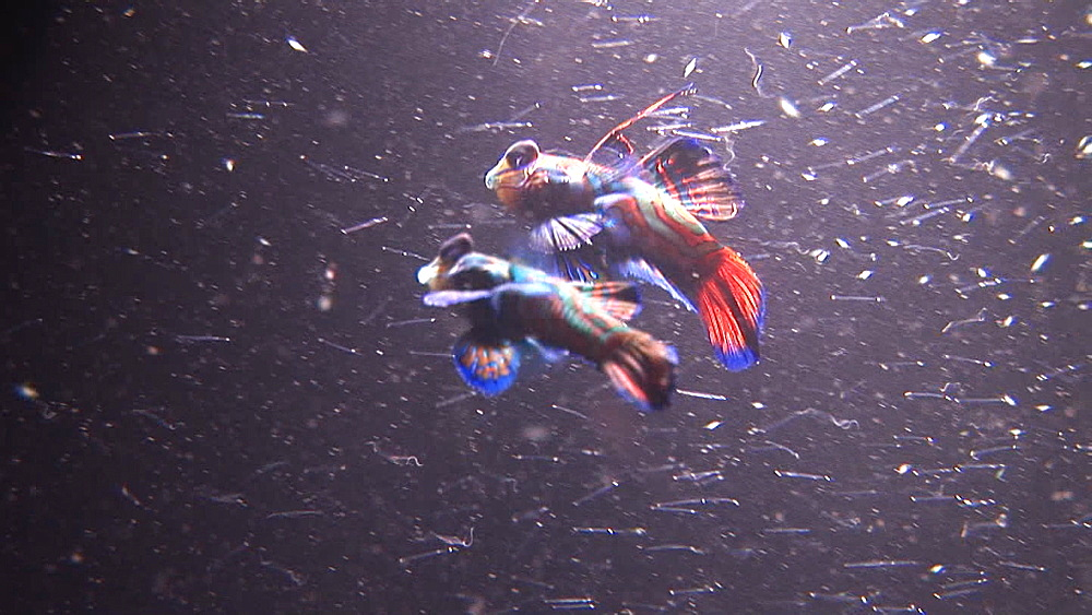 Two Mandarins swimming in dense plankton. Pacific - 981-393