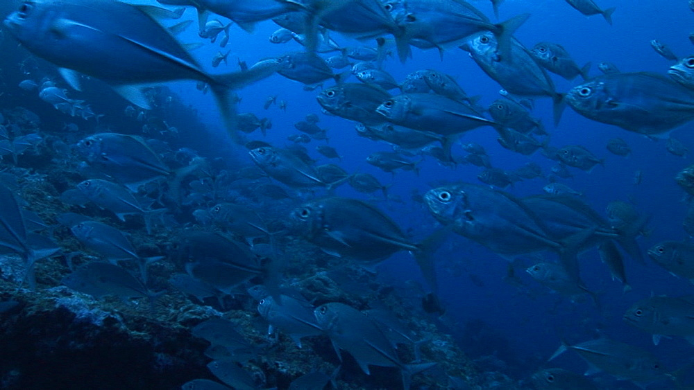 School of Jackfish. Palau, Pacific - 981-397