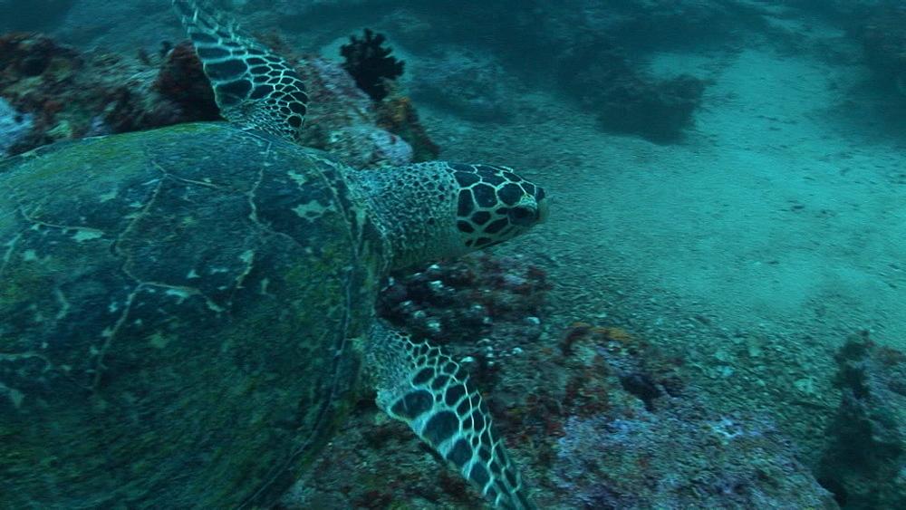 Hawksbill turtle, Eretmochelys imbricata, on reef. Palau, Pacific - 981-398
