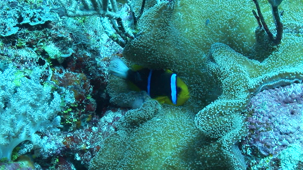 orange finned Anemone fish, Aphiprion chrysopterus, on coral reef. Yap Island, Pacific - 981-400