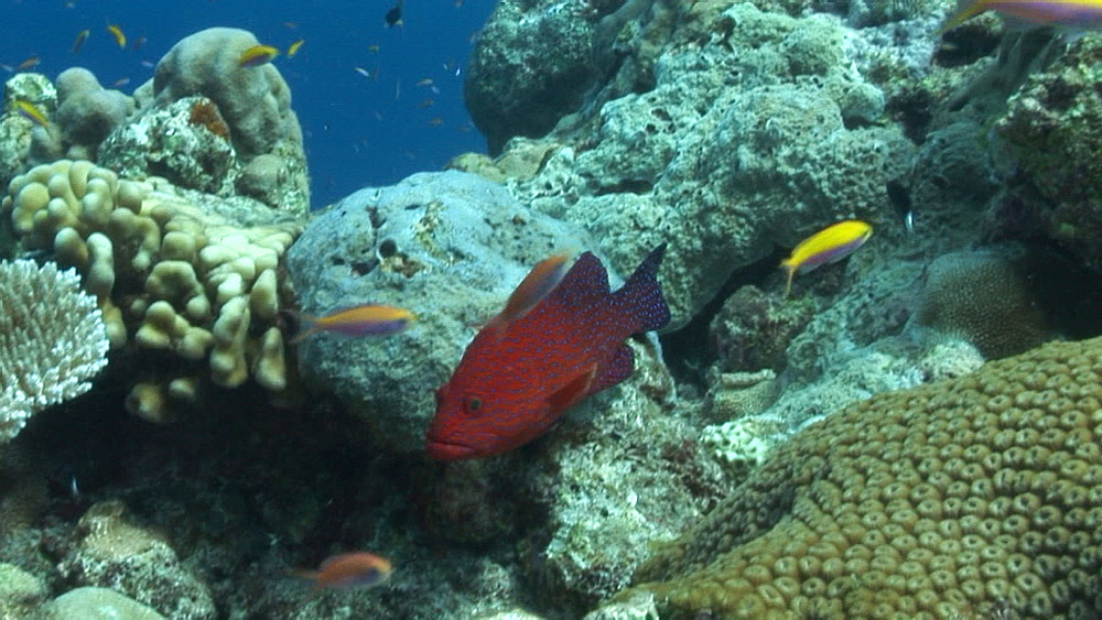 Multicoloured tropical fish on coral reef. Yap Island, Pacific - 981-403