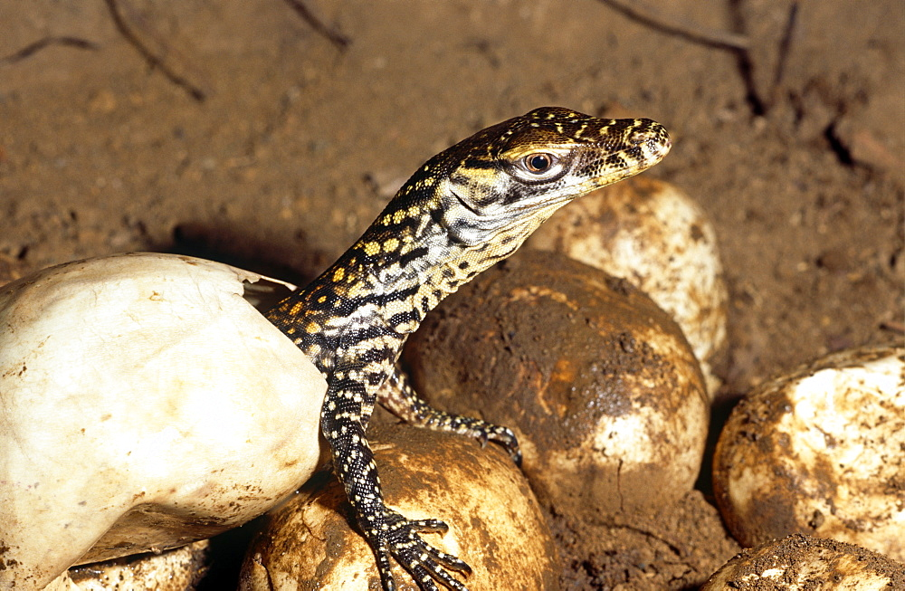 Young hatchling Komodo dragon (Varanus komodoensis).  one of thirty three eggs only twenty eight hatched. - 981-42