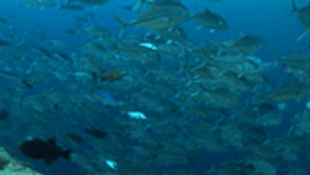 Tropical fish species schooling in bait ball on reef. Palau, Pacific