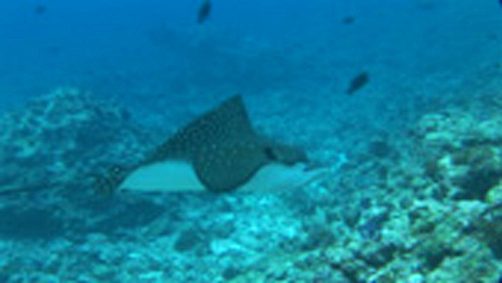 Spotted eagle ray (Aetobatus narinari) swimming over reef. Palau, Pacific - 981-426
