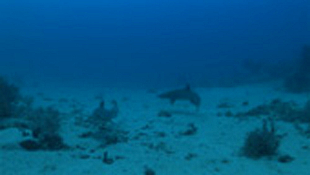 White tip reef shark, Triaenodon obesus, on seabed. Palau, Pacific - 981-443