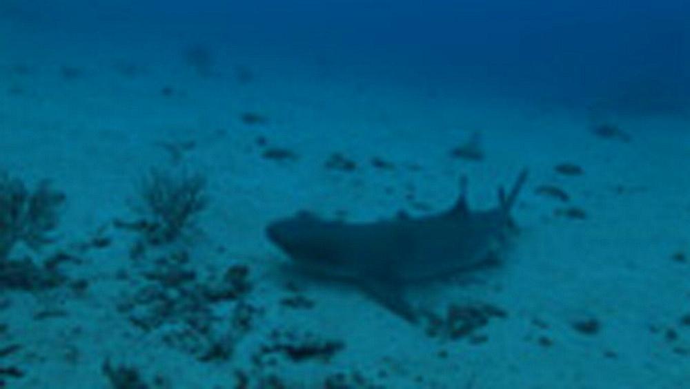 White tip reef shark, Triaenodon obesus, on seabed. Palau, Pacific - 981-444