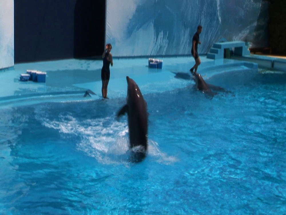 Captive. Bottlenose dolphins (Tursiops truncatus) perform in dolphin show with trainers. Swim backwards. Dolphinarium. Faro. Portugal