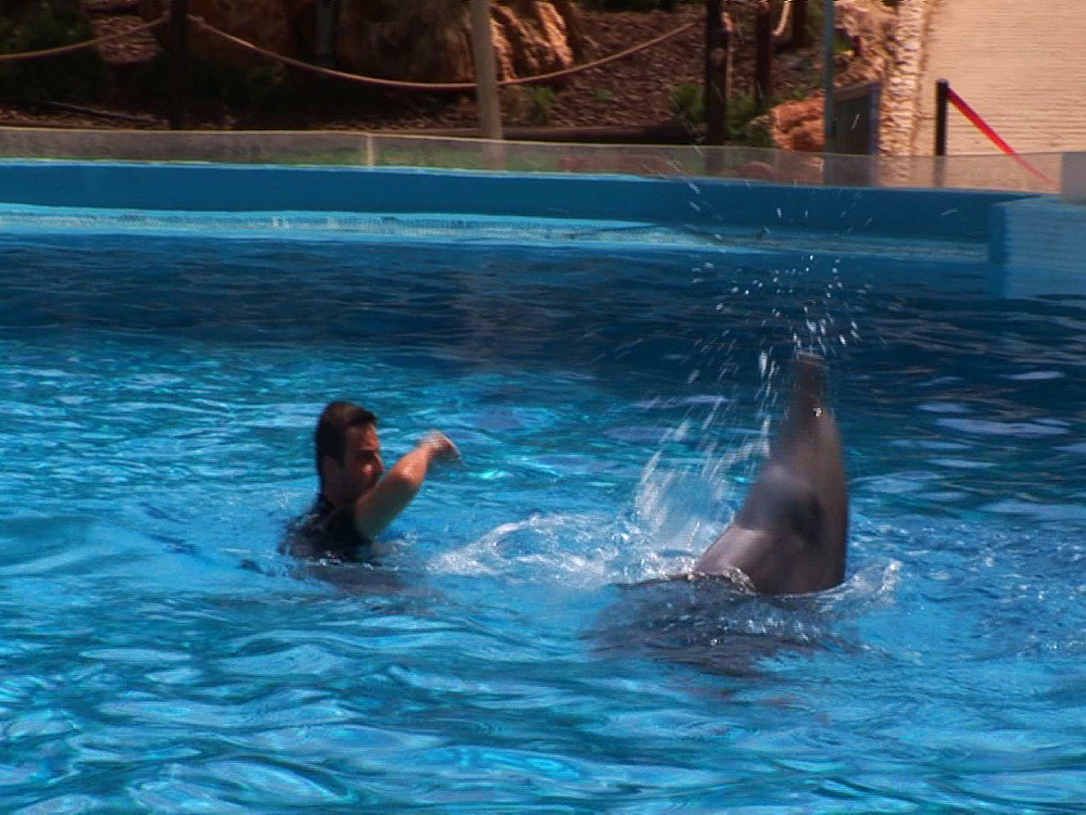 Captive. Bottlenose dolphins (Tursiops truncatus) perform in dolphin show with trainers. Dolphins directed by trainer in water. Dolphinarium. Faro. Portugal - 981-539