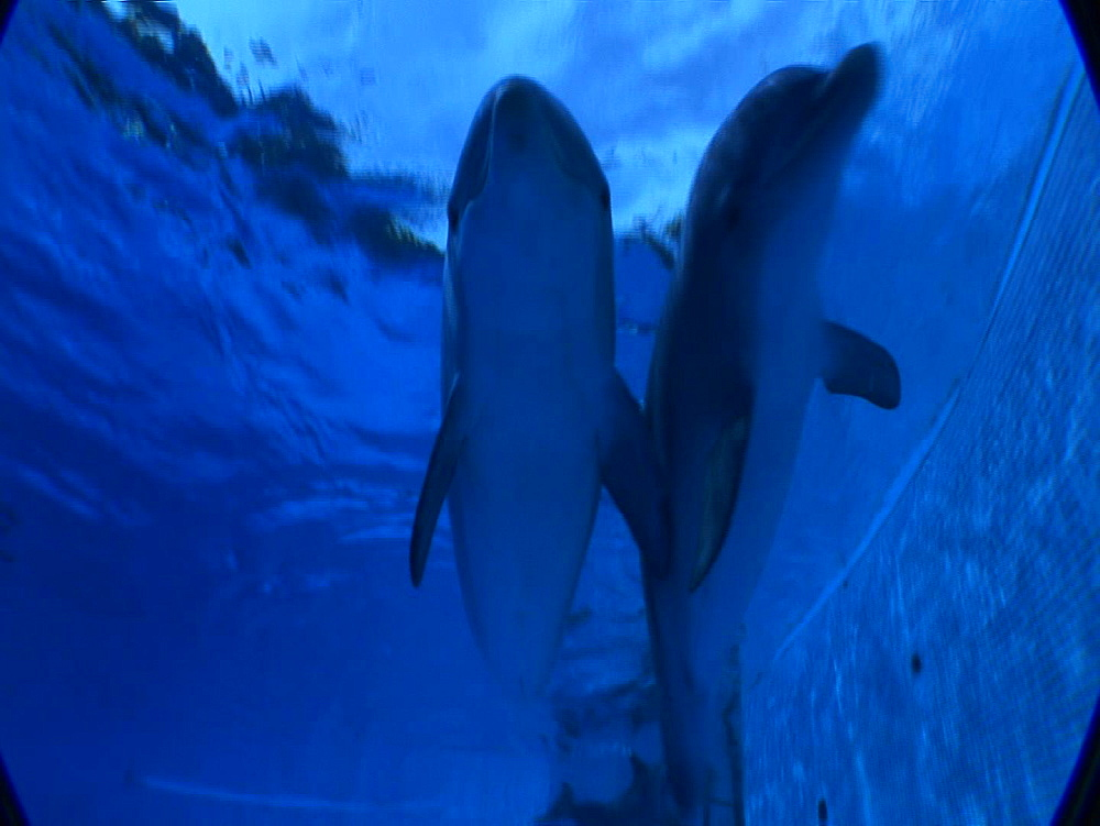 Captive. Bottlenose dolphins (Tursiops truncatus) . Underwater, dolphins swim near camera. Dolphinarium. Faro. Portugal - 981-557