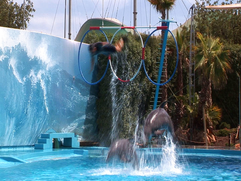Captive. Bottlenose dolphins (Tursiops truncatus) perform in dolphin show with trainers. Dolphins boost trainer through suspended hoop. Dolphinarium. Faro. Portugal - 981-566