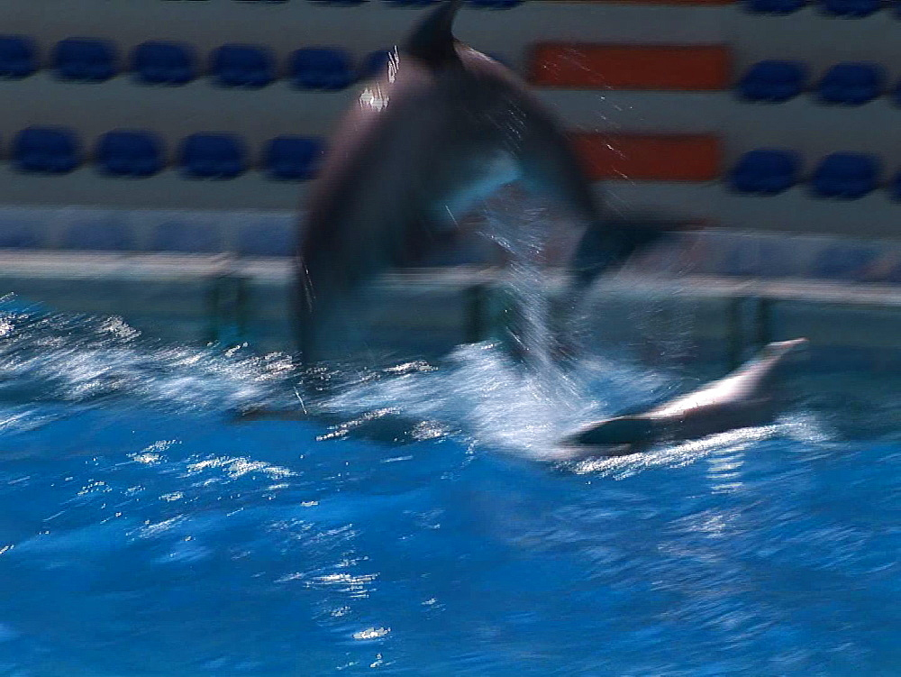 Captive. Bottlenose dolphins (Tursiops truncatus) perform in dolphin show with trainers. Repeatedly breach over dolphin swimming on back. Dolphinarium. Faro. Portugal - 981-603