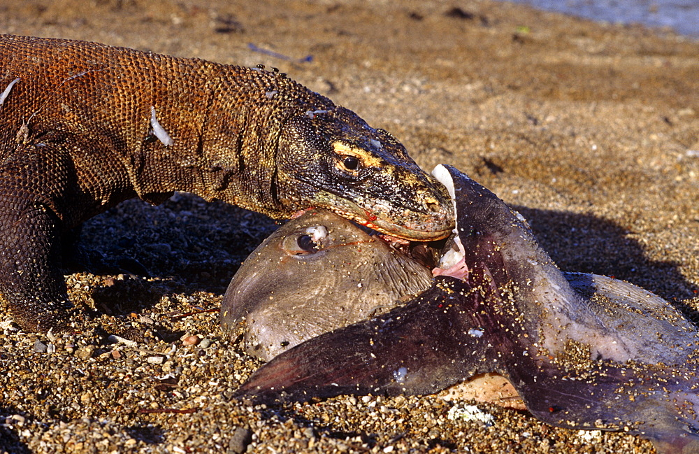 Komodo dragon (Varanus komodoensis)  - male on beach foraging on dead sunfish. - 981-65