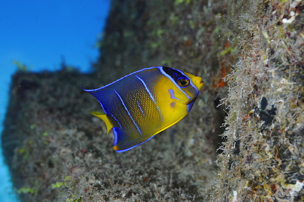Blue Angelfish - Holacanthus bermudensis,Juvenile - Feeding on the hull of the 'Blue Plunder'.  - 981-80