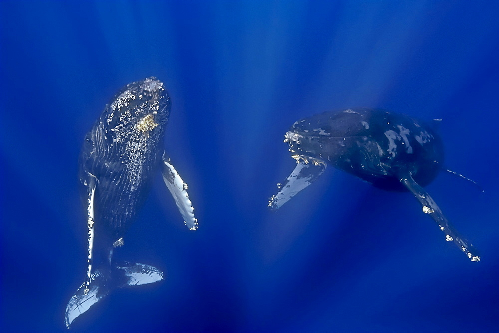 a curious pair of humpback whales, Megaptera novaeangliae, on migratory route, Pacific Ocean