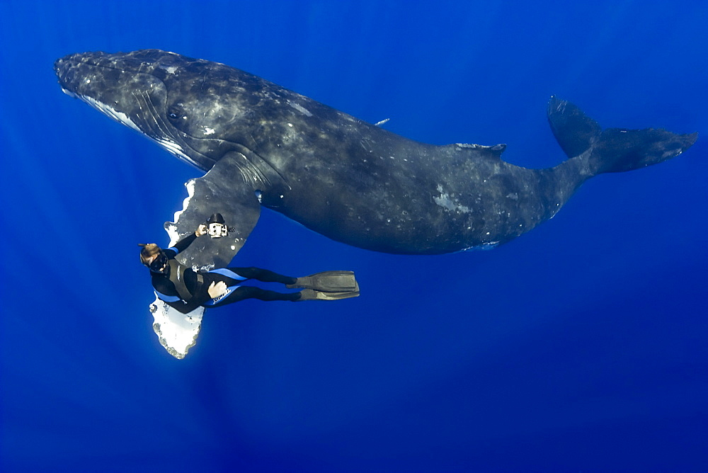 humpback whale, Megaptera novaeangliae, and diver, on migratory route, Pacific Ocean, MR 030304-SC      - 983-114