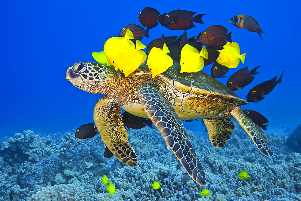 Endangered green sea turtle, Chelonia mydas, being cleaned by yellow tang, Zebrasoma flavescens, gold-ring surgeonfish, Ctenochaetus strigosus, and endemic saddle wrasse, Thalassoma duperrey, Kona Coast, Big Island, on migratory route, Pacific Ocean