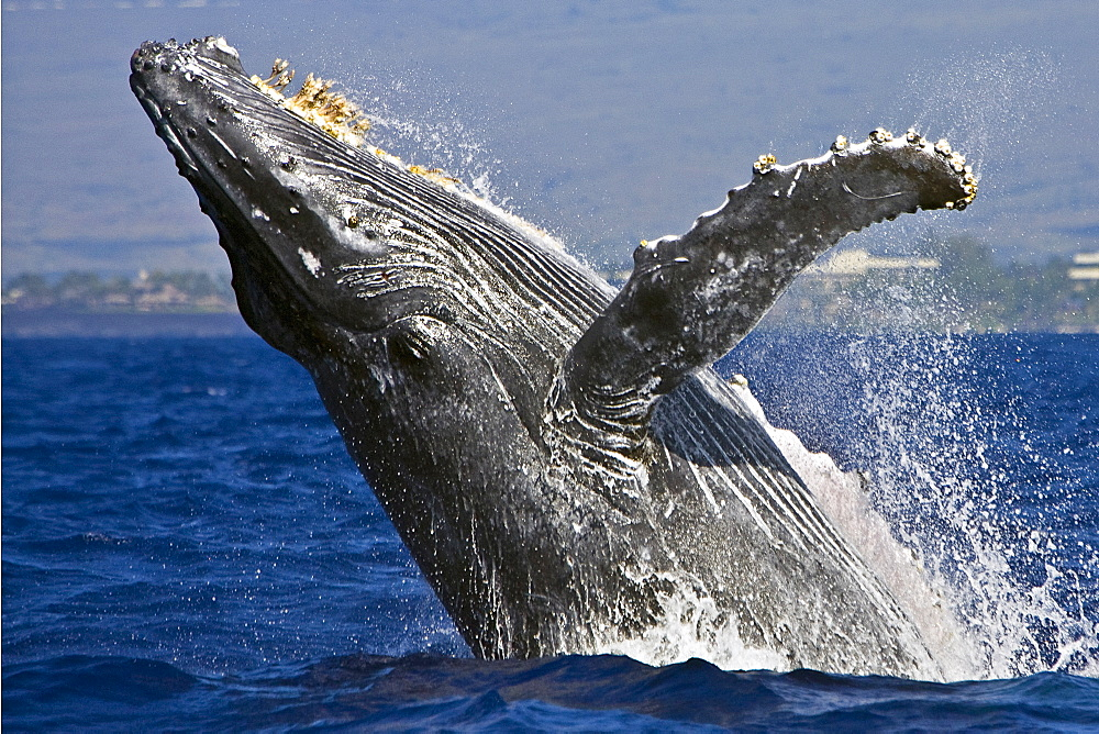 humpback whale, Megaptera novaeangliae, breaching, note rare gray body coloration for adult whale, Hawaii, USA, Pacific Ocean - 983-167