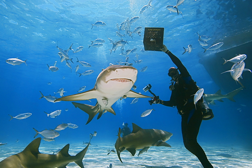 scuba diver with shark baits, lemon sharks, Negaprion brevirostris, with sharksuckers, and blue runner jacks, Grand Bahama, Bahamas, Caribbean Sea, Atlantic Ocean, MR 050807-KS, 050807-GO