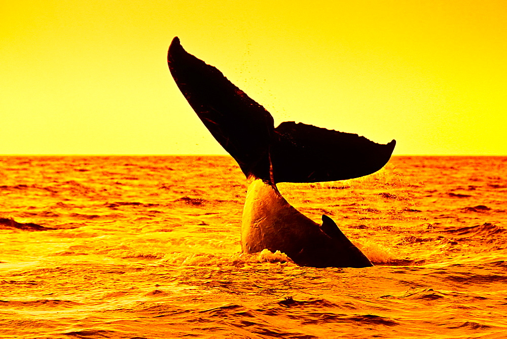 humpback whale, Megaptera novaeangliae, lobtailing at sunset, Hawaii, USA, Pacific Ocean, digital composite