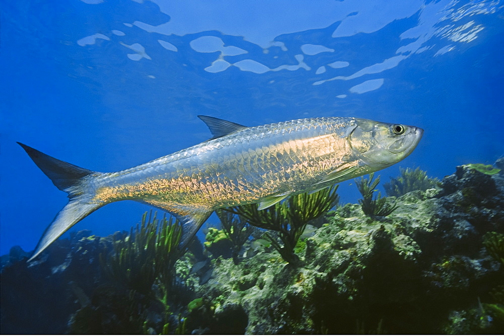 Atlantic tarpon, Megalops atlanticus, grows up to 2 m (6.6 ft) in length and could weigh 160 kg (350 lb), Looe Key, Florida Keys National Marine Sanctuary, USA, Atlantic Ocean