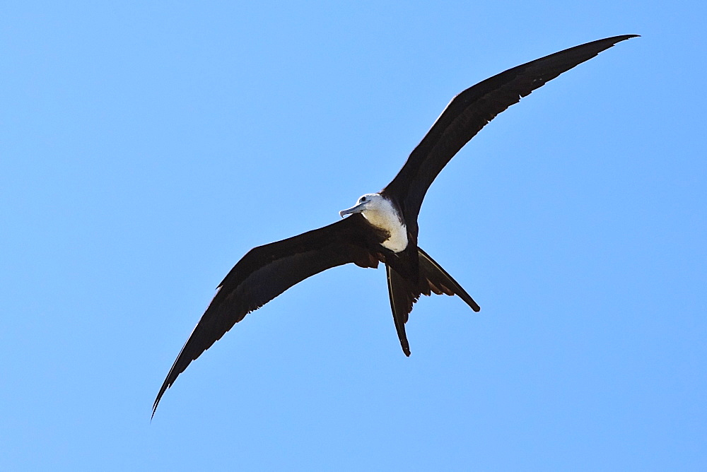 great frigatebird, Fregata minor, juvenile in flight, Kona Coast, Big Island, Hawaii