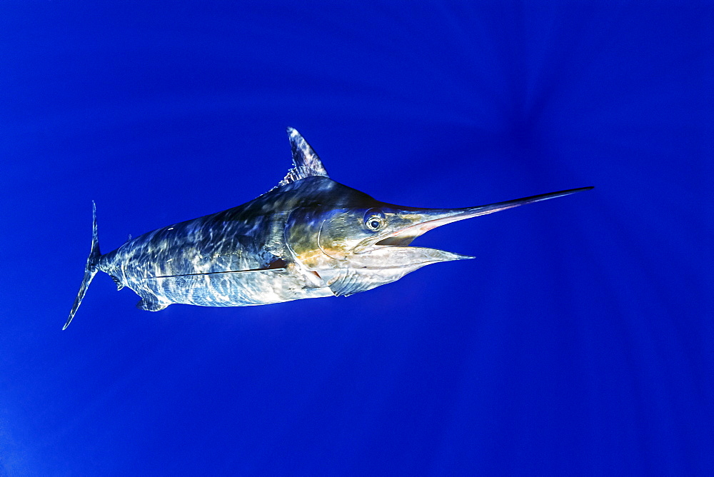 Blue marlin (Makaira nigricans) or Indo-Pacific blue marlin (Makaira mazara), Kona Coast, Big Island, Hawaii, United States of America, Pacific