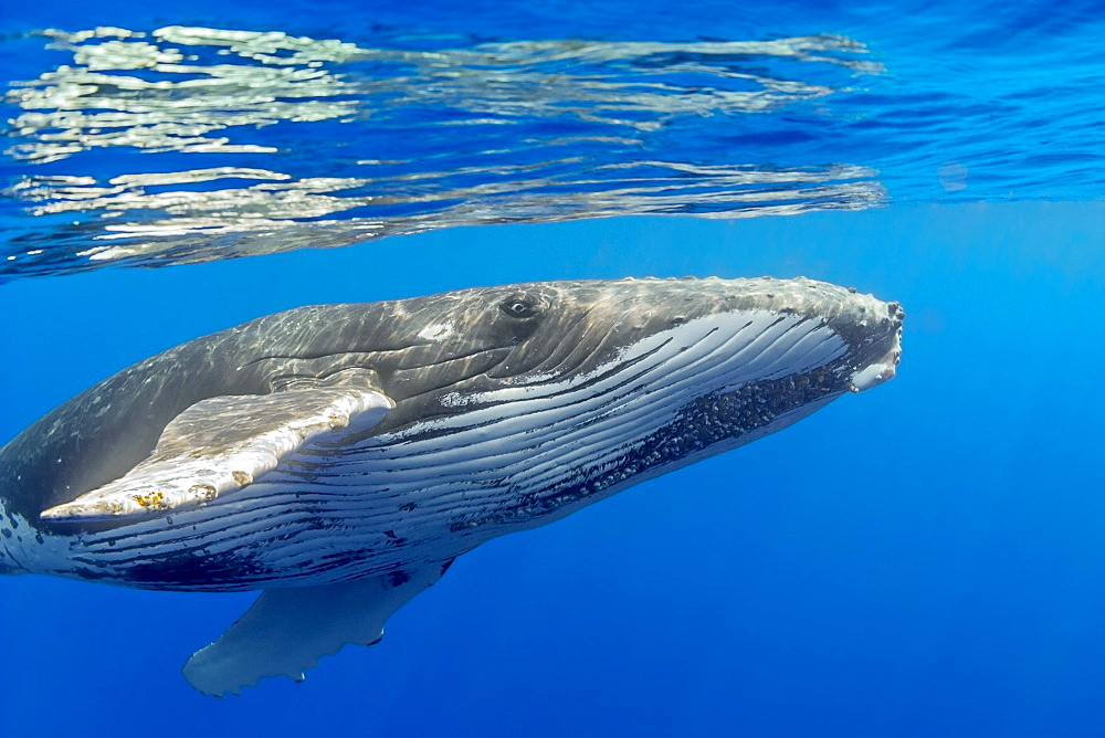 Humpback whale (Megaptera novaeangliae) extending pectoral fin to reach out, Hawaii, United States of America, Pacific