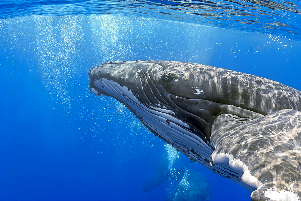 Humpback whales (Megaptera novaeangliae) courtship behaviour with male blowing bubbles around female, Hawaii, United States of America, Pacific