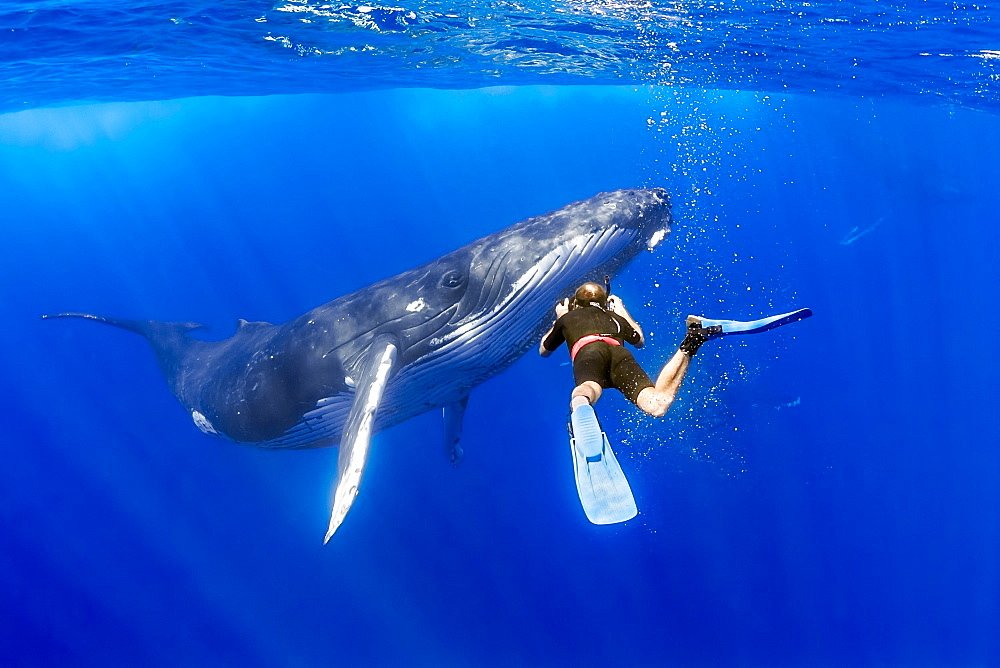 Humpback whale (Megaptera novaeangliae) and marine wildlife photographer James D. Watt, Hawaii, United States of America, Pacific