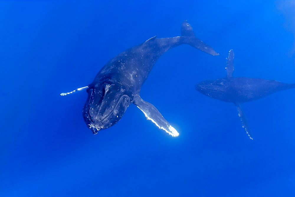 Humpback whales (Megaptera novaeangliae), courtship behaviour of female being pursued by male, Hawaii, United States of America, Pacific