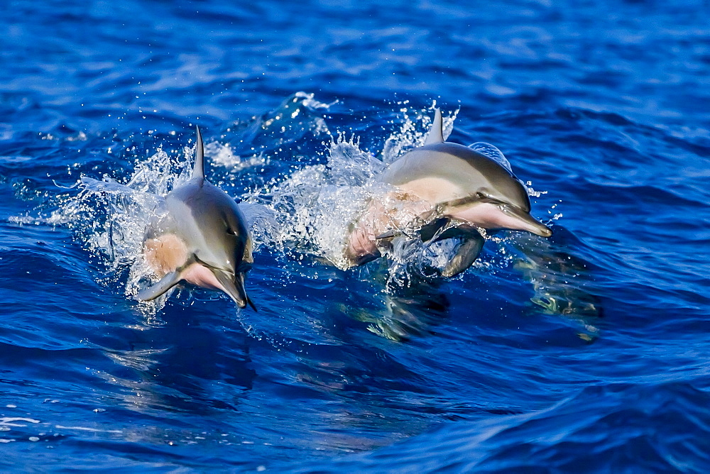 A pair of Hawaiian spinner dolphins (long-snouted spinner dolphins) (Stenella longirostris) jumping out of boat wake, Hawaii, United States of America, Pacific