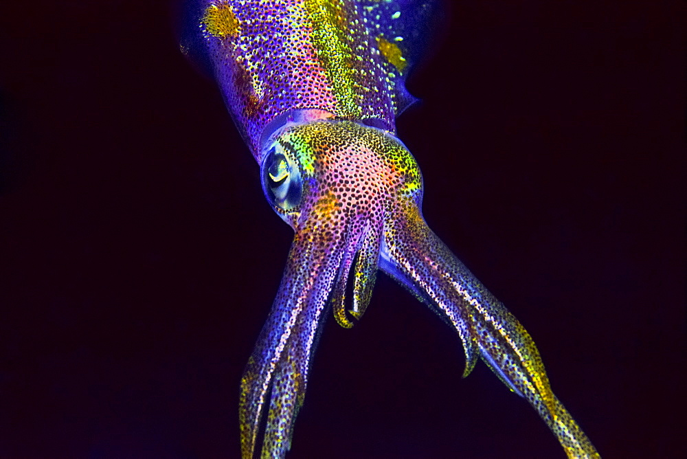Caribbean reef squid, Sepioteuthis sepioidea, hunting at night, Key Largo, Florida Keys National Marine Sanctuary, USA, Caribbean Sea, Atlantic Ocean