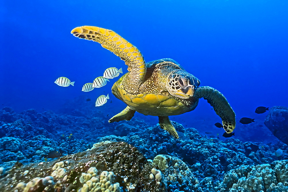 green sea turtle, Chelonia mydas, endangered species, with cleaning reef fish - convict tang, Acanthurus triostegus, and gold-ring surgeonfish, Ctenochaetus strigosus, Kona Coast, Big Island, Hawaii, USA, Pacific Ocean - 983-511