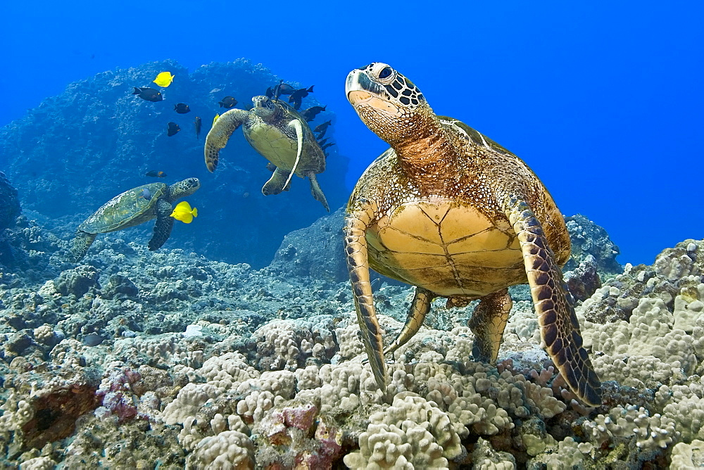 green sea turtles, Chelonia mydas, endangered species, being cleaned by yellow tangs, Zebrasoma flavescens, and gold-ring surgeonfish, Ctenochaetus strigosus, Kona Coast, Big Island, Hawaii, USA, Pacific Ocean - 983-513