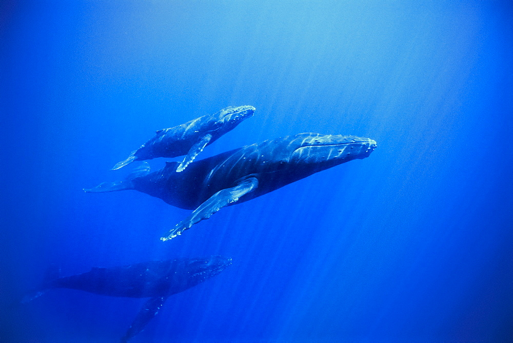 humpback whale, Megaptera novaeangliae, mother, calf and escort, Hawaii, USA, Pacific Ocean - 983-587