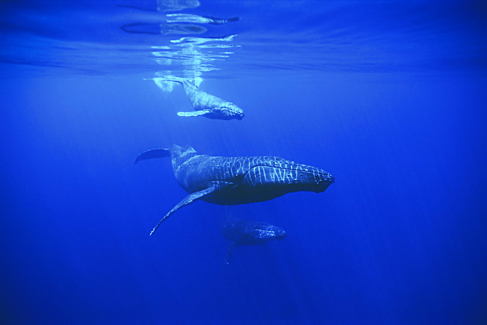 humpback whale, Megaptera novaeangliae, mother, calf and escort, Hawaii, USA, Pacific Ocean - 983-591