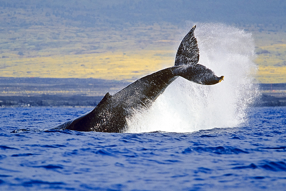 humpback whale, Megaptera novaeangliae, peduncle throw or tail breach, Hawaii, USA, Pacific Ocean - 983-600