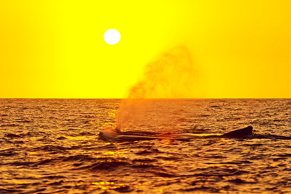 humpback whales, Megaptera novaeangliae, spouting or blowing at sunset, Hawaii, USA, Pacific Ocean - 983-608
