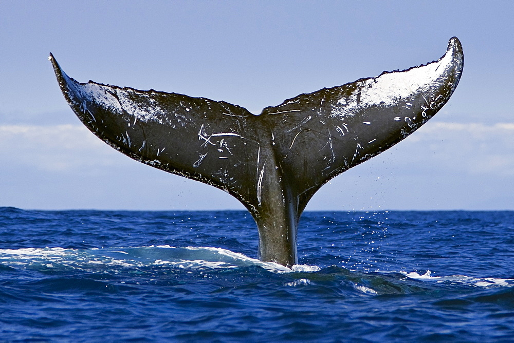 humpback whale, Megaptera novaeangliae, lobtailing or tail slapping, Hawaii, USA, Pacific Ocean