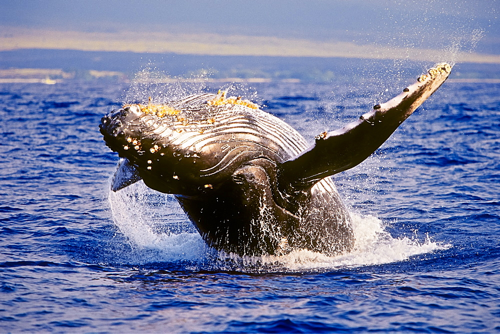 Humpback Whale, Megaptera novaeangliae, breaching under golden sunset light, Hawaii, USA, Pacific Ocean - 983-637