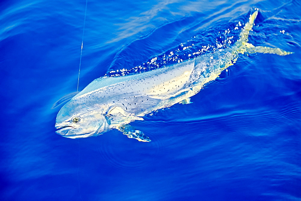 mahi mahi, dolphin fish, or dorado, Coryphaena hippurus, cow, Kona Coast, Big Island, Hawaii, USA, Pacific Ocean - 983-648