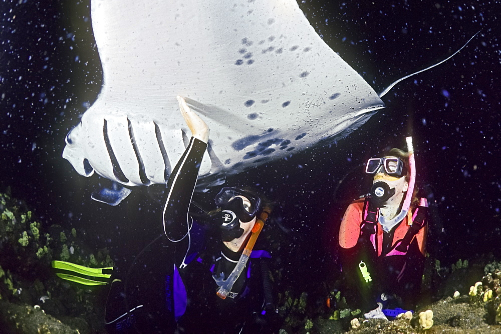 scuba divers and manta ray, Manta birostris, feeding at night, Kona Coast, Big Island, Hawaii, Pacific Ocean, model released