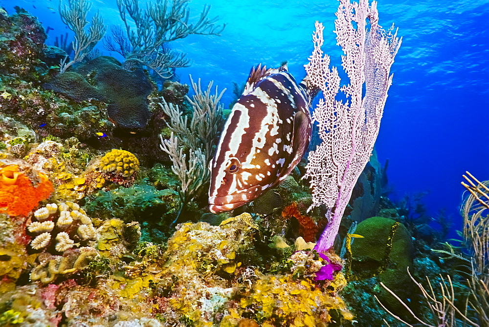 Nassau grouper, Epinephelus striatus, hunting for a reef fish prey, camouflaging itself as a part of sea fan, Bloody Bay Wall, Little Cayman, Cayman Islands, Caribbean Sea, Atlantic Ocean - 983-657