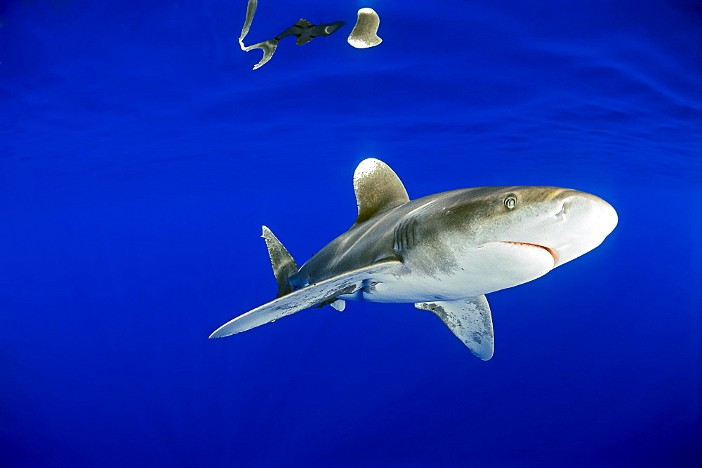oceanic whitetip shark, Carcharhinus longimanus, Big Island, Hawaii, USA, Pacific Ocean - 983-661
