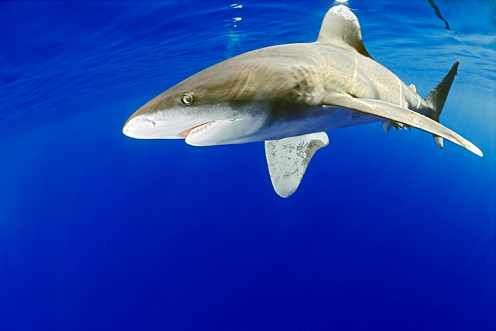 oceanic whitetip shark, Carcharhinus longimanus, Big Island, Hawaii, USA, Pacific Ocean - 983-662
