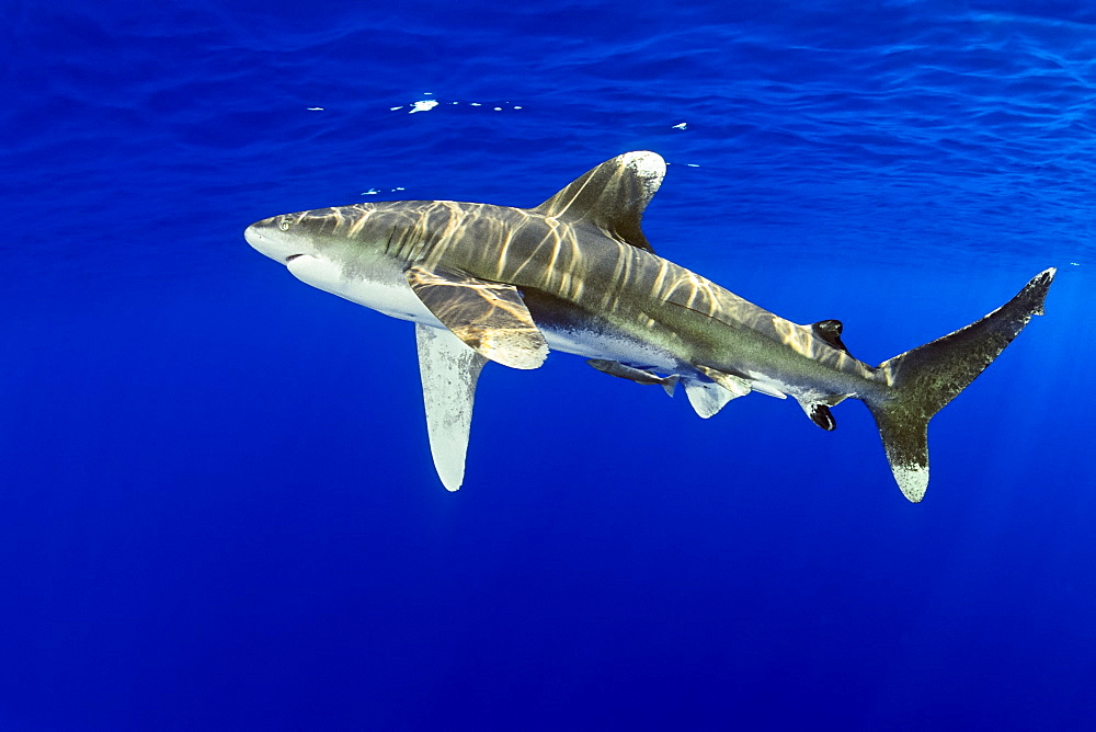 oceanic whitetip shark, Carcharhinus longimanus, with remora, Remora sp., IUCN Vulnerable Species, Kona Coast, Big Island, Hawaii, USA, Pacific Ocean - 983-664